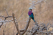 A lilac breasted roller shows us exactly how it got its name.