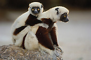 Coquerel's Sifaka (Propithecus coquereli) mother and baby, Ankarafantsika Strict Nature Reserve, western Deciduous forest, Madagascar