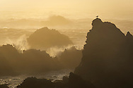 bird on rock and crashing waves at sunset, Jug Handle State Natural Reserve, Mendocino County coast, California