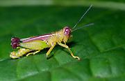 Unidentified grasshopper from La Selva, Ecuador.