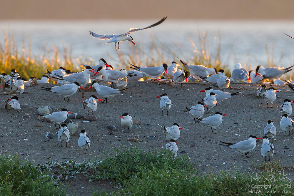 A colony of caspian terns (Hydroprogne caspia, formerly Sterna caspia) nest on Rat Island located at the northern end of Puget Sound in Washington state.