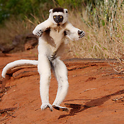 Verreaux's Sifaka, in mid air leap, Berenty Private Reserve, Madagascar.
