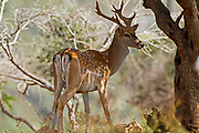 Male Mesopotamian Fallow deer (Dama mesopotamica) Photographed in Israel Carmel forest. This is a breading nucleus in the process of reintroduction to it's natural environment