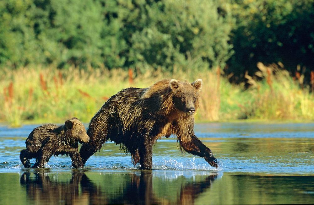Alaskan Brown Bear sow and cub cross the stream.  Glacier Bay National Park, Alaska.  UNESCO World Heritage Site.