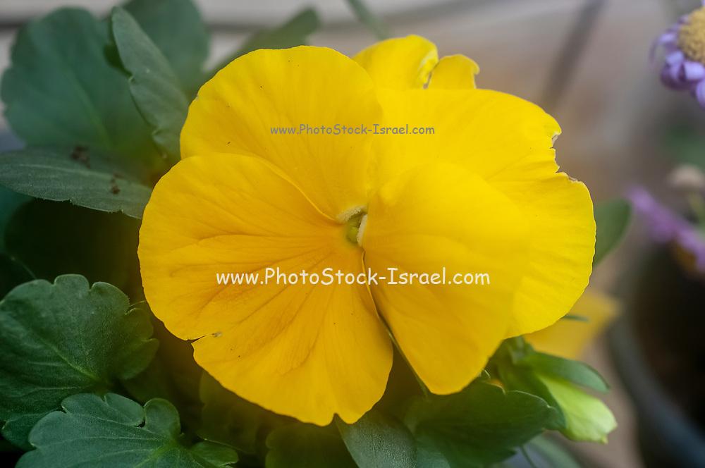 Yellow Pansy, Close up