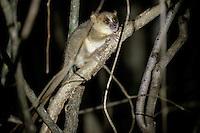 Golden Brown mouse lemur.