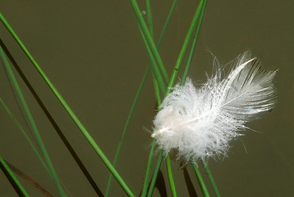 A solitary goose feather lies on the banks of the Gypsum Ponds covered in early morning dew drops.