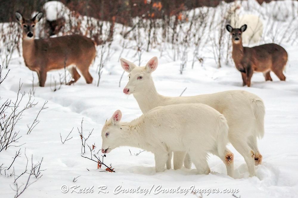 Albino whitetail deer doe and fawn in winter habitat