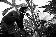 Woman harvesting okra pods in Ghana, West Africa.