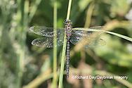 06357-00110 Shadow Darner (Aeshna umbrosa) male (Marion Co. IL