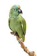 Yellow-Napes Amazon (Amazona auropalliata). In August 2017, at nearly 40 years old, Kona suffered a stroke. Though she may never fully recover, Kona has vastly improved and remains in great spirits.