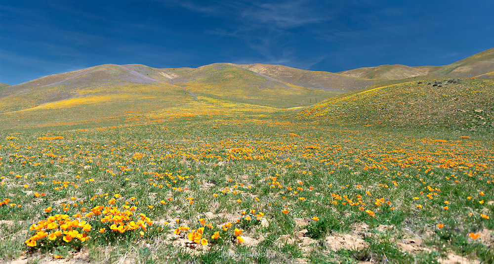 Poppies and Other Wildflowers Adorn Hillsides Near Gorman, California