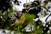 Parauapebas_PA, Brasil...Biologo da ONG SOS Falconiformes escalando arvore em meio a floresta amazonica na Floresta Nacional de Carajas...The biologist from the ONG SOS Falconiformes climbing tree in the Amazon forest, Carajas National Forest...Foto: JOAO MARCOS ROSA / NITRO