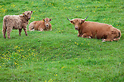 Highland Cattle in meadow at Ceri (Kerry) Montgomeryshire, Powys, Wales