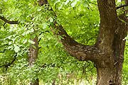 Walnut Tree, Juglans sp., Atlas Mountains, Nr Imlil, Morocco