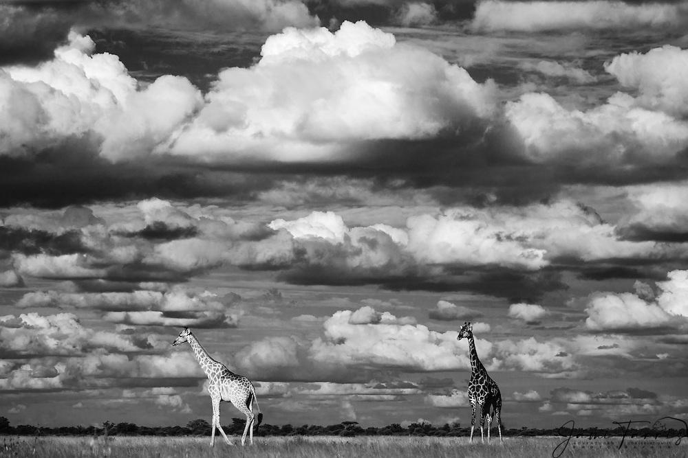 Southern giraffes (giraffa camelopardalis) walking beneath a cloudy Kalahari sky in the wet season,black and white , Kalahari, Botswana, Africa