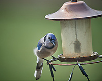 Blue Jay at an empty bird feeder. Image taken with a Nikon D5 camera and 600 mm f/4 VR lens (ISO 280, 600 mm, f/4, 1/1250 sec)