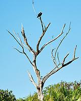 Osprey (Pandion haliaetus). Fort De Soto County Park. St. Petersburg, Florida. Image taken with a Nikon D3 camera and 70-200 mm f/2.8 VR lens.