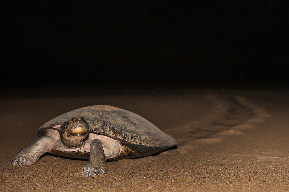 Giant River Turtle (Podocnemis expansa) ashore to lay eggs. CAPTIVE-REARING PROGRAM FOR REINTRODUCTION TO THE WILD<br /> CITES II      IUCN ENDANGERED (EN)<br /> Pararuma Beach, (mid) Orinoco River, 110 Km north of Puerto Ayacucho. Apure Province, VENEZUELA. South America. <br /> L average 90cm, Wgt 30-45kg. Largest fresh water river turtle in South America. Eggs round & 42mm. 90-100 per clutch. 6-8 weeks incubation.<br /> (This female measured:69cm curved carapace length & weighed:31kg and layed 121 eggs) Females come ashore to sun themselves for several days before laying to boost egg development.  They lay when the river is at its lowest. Herbacious and live in white or black water rivers moving into flooded forests of the Amazon during the wet season to feed on fallen seeds and fruit.<br /> RANGE: Amazonia, Llanos & Orinoco of Colombia, Venezuela, Brazil, Guianas, Ecuador, Peru & Bolivia.<br /> Project from Base Camp of the Protected area of the Giant River Turtle (& Podocnemis unifilis). (Refugio de Fauna Silvestre, Zona Protectora de Tortuga Arrau, RFSZPTA)<br /> Min. of Environment Camp which works in conjuction with the National Guard (Guardia Nacional) who help enforce wildlife laws and offer security to camp. From here the ministery co-ordinate with other local communities along the river to hand-rear turtles for the first year of their life and then release them. They pay a salary to a person in each community that participates in the project as well as providing all food etc. The turtles are protected by law and there is a ban on the use of fishing nets in the general area. During egg laying season staff sleep on the nesting beaches to monitor the nests.  All nests layed on low lying ground are relocated to an area not likely to flood. They are then surrounded by a net to catch all hatchlings who will then spend the first year of their life in captivity to increase their chances of survival.