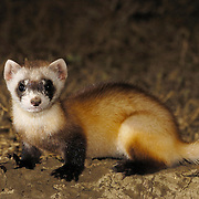 Black-footed Ferret (Mustela nigripes) sub-adult near a burrow at night in the summer. The Black-footed Ferret is teh only wild ferret in existence and the rarest endangered North American mammal. Charles M. Russell National Wildlife Refuge, Montana