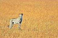 A female cheetah (Acinonyx Jubatus) in the Masai Mara game reserve in Kenya.