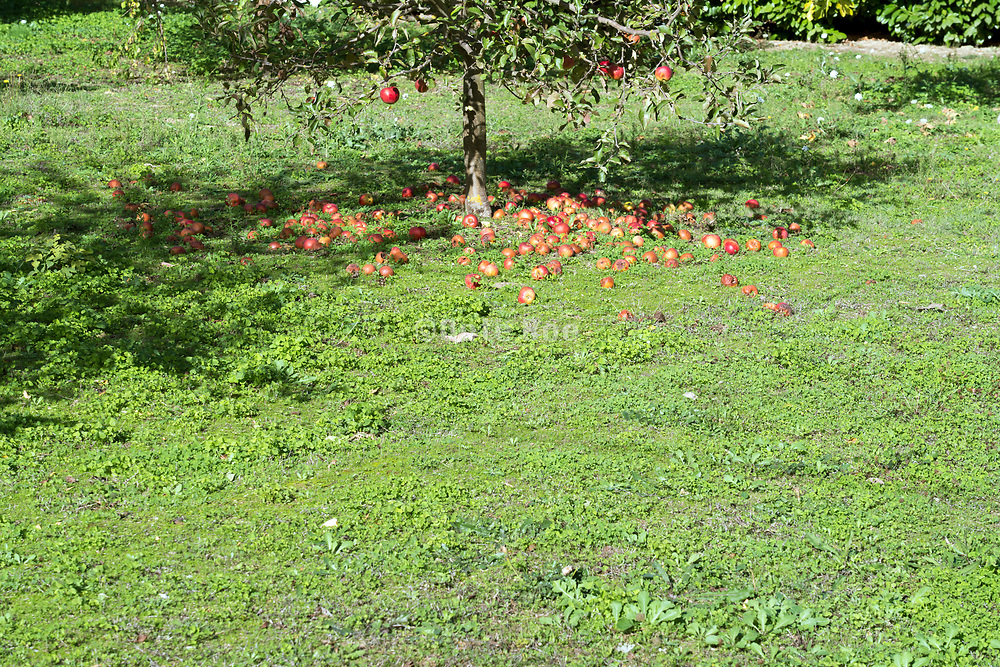 tree with many apples laying under the tree on the ground