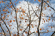 """A charming cotton-ball cloud highlights the fading leaves of an oak tree and they flutter in the autumn wind. For IMAGE LICENSING just click on the """"add to cart"""" button above.<br /> <br /> Fine Art archival paper prints for this image as well as canvas, metal and acrylic prints available here:http://pixels.com/featured/white-cloud-in-the-middle-julie-weber.html?newartwork=true"""