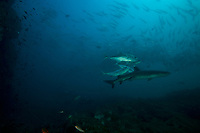 """Seamount with schooling jacks and Whitetip Reef Shark (Triaenodon obesus)<br />Jacks are scraping themselves on the shark's skin<br /><br />Contreras Islands, N of Brancanco Isl.<br />Coiba National Park, Panama<br />Tropical Eastern Pacific Ocean<br /><br />""""Roller Coaster"""" dive site"""