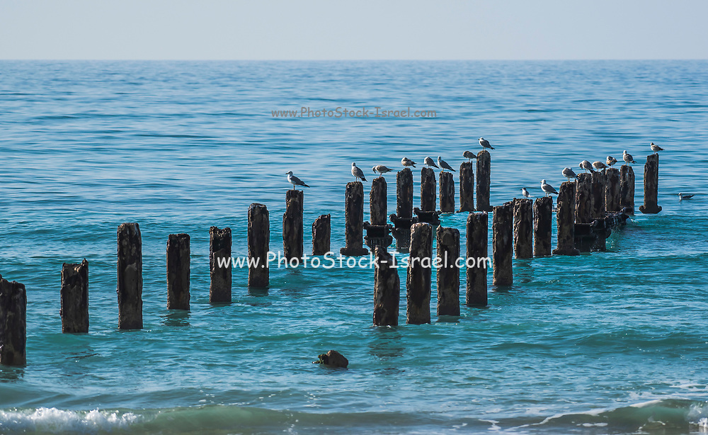 Weathered Poles in the Mediterranean sea the remains of a wharf Photographed at Beit Yanai Beach, Israel