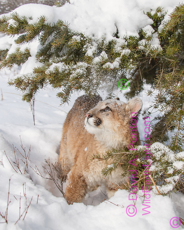 Young mountain lion looks up at snow laden branch that just sprinkled him with snow, © David A. Ponton
