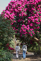 © Licensed to London News Pictures. 11/04/2017. Wexham, UK.  A couple walking their dog admire the variety of rhododendrons which have started to flower in the Temple Gardens of Langley Park, Buckinghamshire.  A former royal hunting ground, Langley Park has links to King Henry VIII, Queen Elizabeth I and Queen Victoria.  Each year, the masses of flowers bloom from March to June. Photo credit : Stephen Chung/LNP