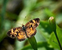 Pearl Crescent (Phyciodes tharos) Butterfly. Image taken with a Nikon 1 V3 camera and 70-300 mm VR lens