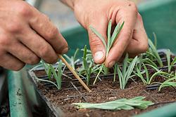 Taking semi ripe cuttings from lavender. Putting cuttings in a module tray.