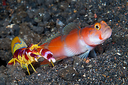 In a perfect example of symbiosis, the shy Aurora Shrimpgoby, Amblyeleotris aurora, warns its partner, a Randall's Shrimp, Alpheus randalli, of danger by wiggling its fins. With this signal, both animals dash into the safety of their shared burrow, which is constructed & maintained by the shrimp. Barren Island, Andaman Islands, India, Andaman Sea, Indian Ocean