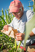 Bill Tracy pollinates an ear of corn by hand for research.