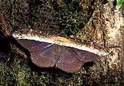 Moth, sp. unknown, on Rainforest tree, Trinidad & Tobago,