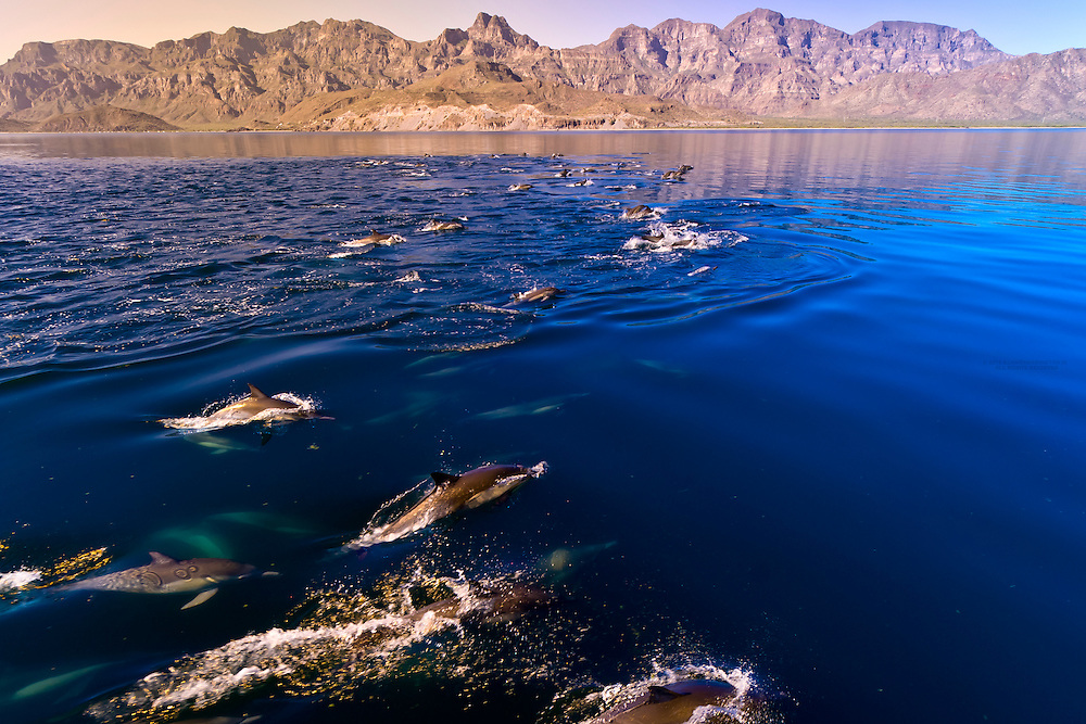 A pod of Pacific White Sided Dolphins swimming in the waters of the Sea of Cortes, near Puerto Escondido, Baja California Sur, Mexico