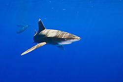 Oceanic Whitetip Shark, Carcharhinus longimanus, and Short-finned Pilot Whales, Globicephala macrorhynchus, off Kona Coast, Big Island, Hawaii, Pacific Ocean