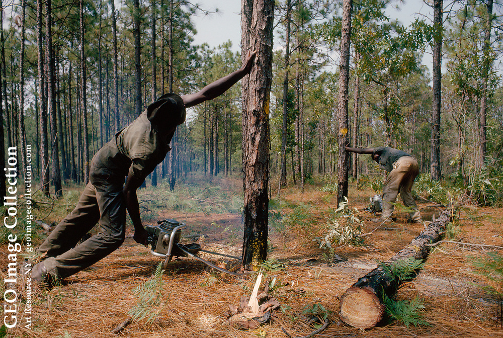 Two lumbermen cut longleaf pine trees to be sold for pulp wood.