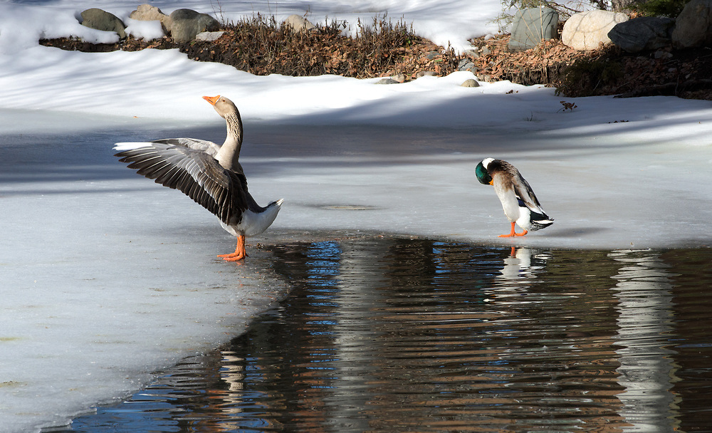 Duck and goose, Valdez Valley, New Mexico