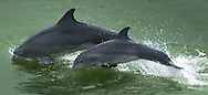 KEVIN BARTRAM/The Daily News.A pair of dolphins jump out of the water just inside the South Jetty on Friday.