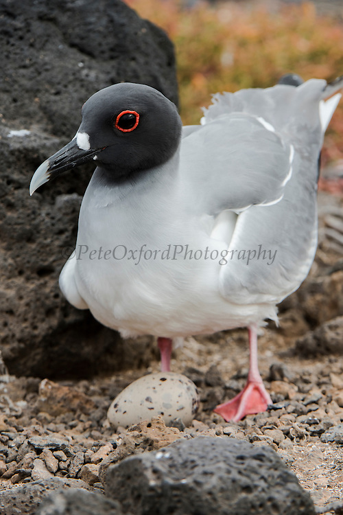 Swallow-tailed Gull (Larus furcatus) on Nest<br /> South Plaza<br /> Galapagos<br /> Ecuador<br /> South America<br /> Endemic