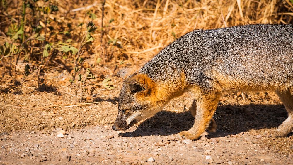 Island fox (Urocyon littoralis), Santa Crus Island, Channel Islands National Park, California USA