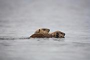 sea otter female swimmimng alongside pup