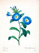 19th-century hand painted Engraving illustration of a convolvulus tricolor Dwarf Morning Glory flower, by Pierre-Joseph Redoute. Published in Choix Des Plus Belles Fleurs, Paris (1827). by Redouté, Pierre Joseph, 1759-1840.; Chapuis, Jean Baptiste.; Ernest Panckoucke.; Langois, Dr.; Bessin, R.; Victor, fl. ca. 1820-1850.