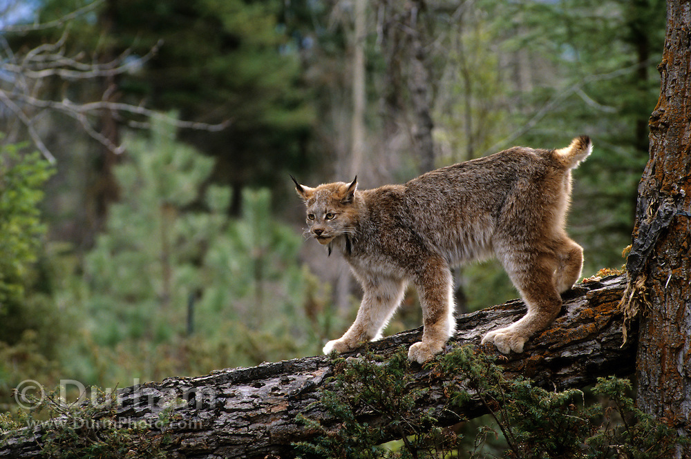 A lynx (Felis lynx) on downed timber. Note the oversized feet for navigating deep snow. Montana.