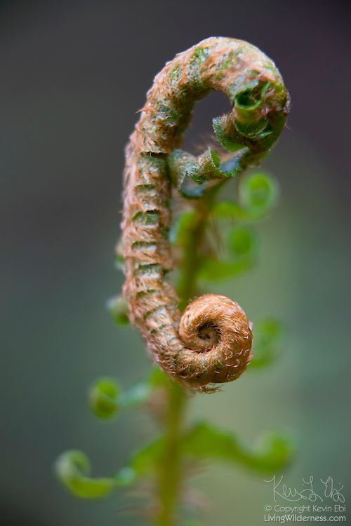A sword fern (Polystichum munitum) begins to unfurl in a forest near North Bend, Washington. The fern lives in the understory of moist coniferous forests at low elevations in western North America and can grow to be nearly 6 feet (180 cm) tall.