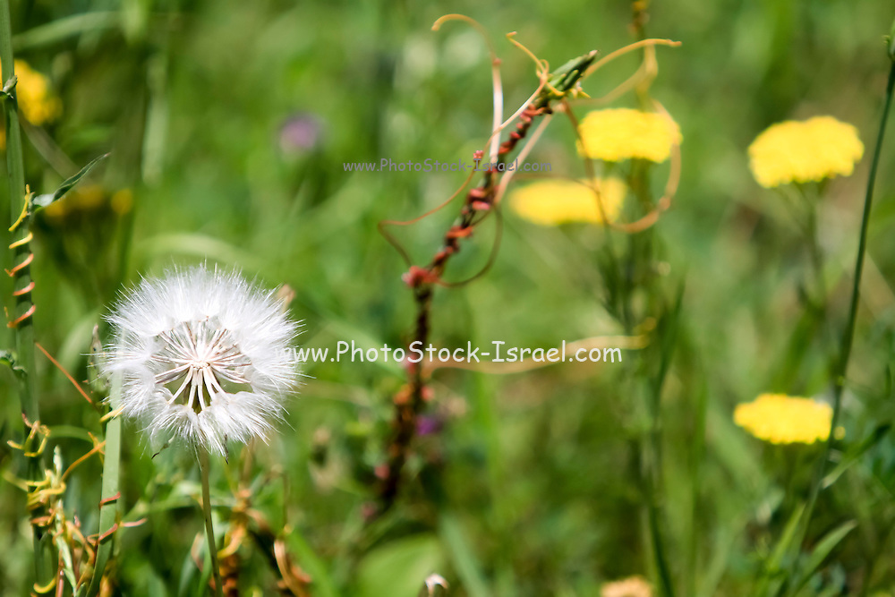 Dandelion blowball. Photographed in Armenia