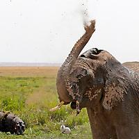 Africa, Kenya, Amboseli. An elephant dust bathes as a hippo looks on at Amboseli.