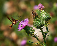 Hummingbird Clearwing Moth feeding on on Thistle flowers. Image taken with a Nikon D3x camera and 105 mm f/2.8 macro lens (ISO 100, 105 mm, f/7.1, 1/400 sec)